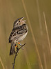 Florida Grasshopper Sparrow (Ammodramus savannarum floridanus) -- male singing on territory (Kissimmee Prairie Preserve)<br /> <br /> This subspecies of Grasshopper Sparrow is listed federally as endangered.