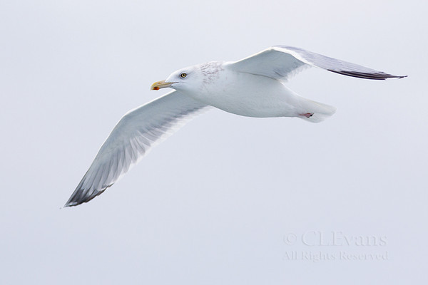 Adult Herring Gull in flight (Clearwater Beach)