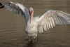 White Ibis Wingspread (St. Petersburg)