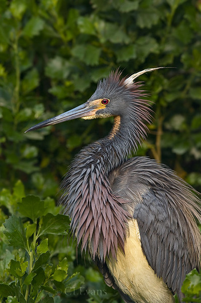 Tri-colored Heron in breeding plumage (St. Augustine)