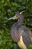 Tri-colored Heron in breeding plumage (St. Augustine)