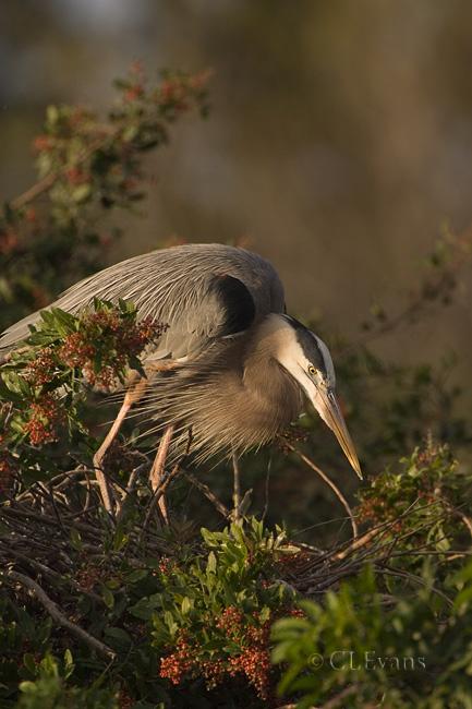 Great Blue Heron on nest (Venice Rookery)