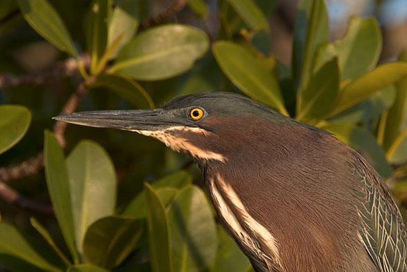 Green Heron (Bellair Causeway)