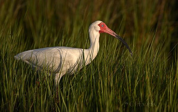 White Ibis in Tall Grass (Ft. De Soto Park, St. Petersburg)