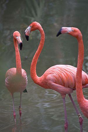 Flamingos (captive)