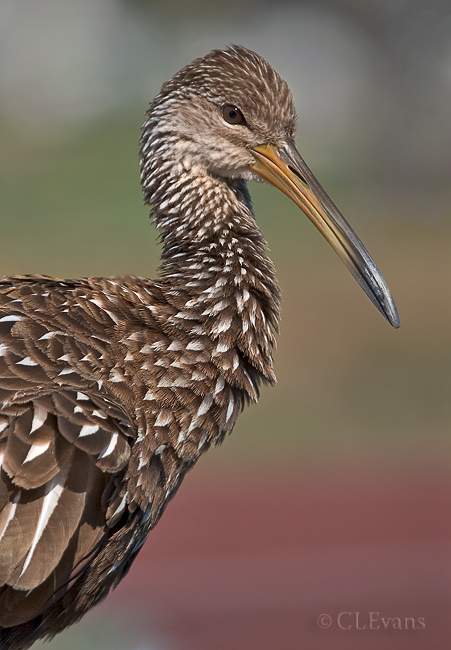 Limpkin (Largo Nature Preserve)