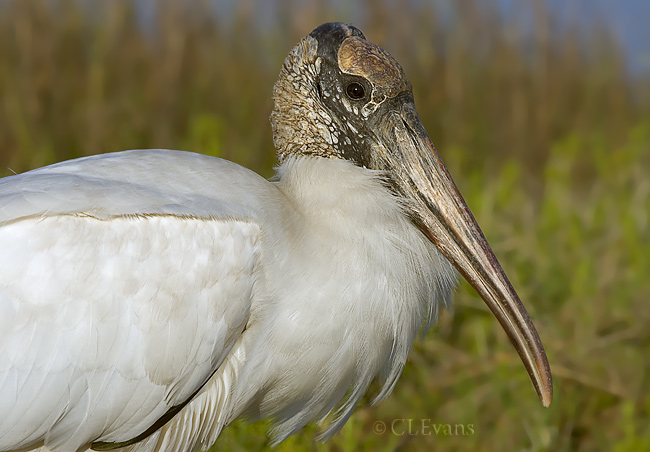 Wood Stork (Anastasia State Park, St. Augustine)<br /> <br /> The only stork that breeds in North America.  Due to precipitous declines in their numbers, these birds have been listed as endangered under the ESA since 1984.  The recent  Fish and Wildlife 5-year Status Review indicates that Wood Storks have expanded their breeding range northward and recommends its federal status be upgraded to Threatened.  Some experts feel such an upgrade would be premature, since the stork colonies are very sensitive to drought conditions.