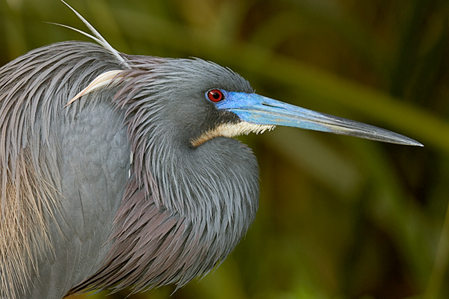 Tri-colored Heron in Breeding Plumage (St. Augustine Alligator Farm)