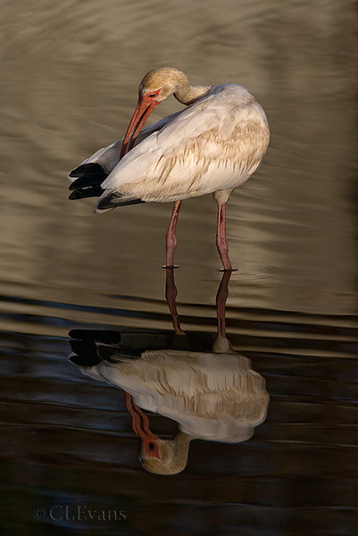 Young White Ibis (St. Petersburg)