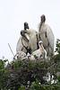 Wood Stork Family (St. Augustine)