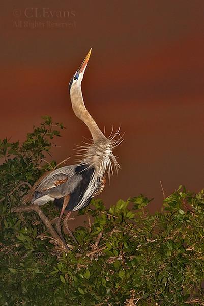 Great Blue Heron head throw (Venice Rookery)
