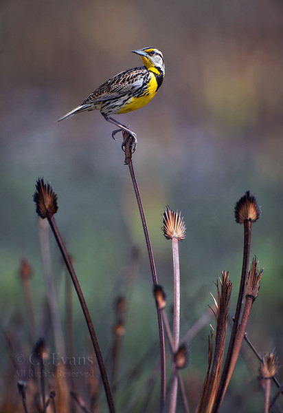 Eastern Meadowlark in recently burned prairie (Kissimmee Prairie Preserve)