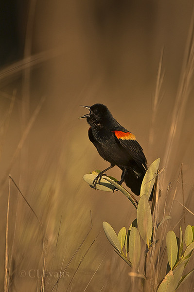 Red-winged Blackbird, singing male (Ft. De Soto Park, St. Petersburg)