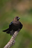 Brown-headed Cowbird (male) (St. Peterburg)