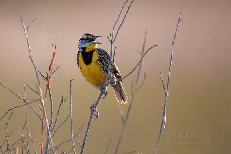 Eastern Meadowlark (Kissimmee Prairie Preserve)