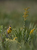 Eastern Meadowlark singing in the midst of palmettos and blooming goldenrod. (Kissimmee Prairie Preserve)