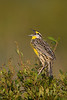 Eastern Meadowlark singing (KPPSP)