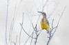 Eastern Medowlark (Kissimmee Prairie Preserve)