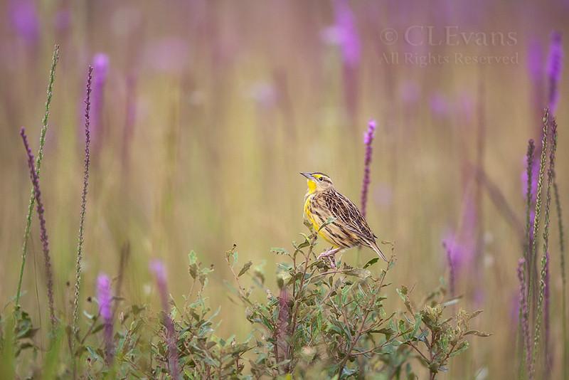 Eastern Meadowlark in midst of Blazing Star (Liatris spp.) (Kissimmee Prairie Preserve)