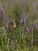 Eastern Meadowlark singing in a field of Liatris (Blazing Star) (Kissimmee Prairie Preserve)