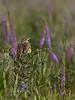 Eastern Meadowlark singing in a field of Liatris (Blazing Star) (Kissimmee Prairie Preserve)