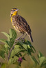 Eastern Meadowlark on Beautyberry (Kissimmee Prairie Preserve)