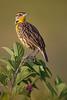 Eastern Meadowlark on Beautyberry (Kissimmee Prairie Preserve)