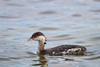 Horned Grebe (Tampa Bay, Clearwater)