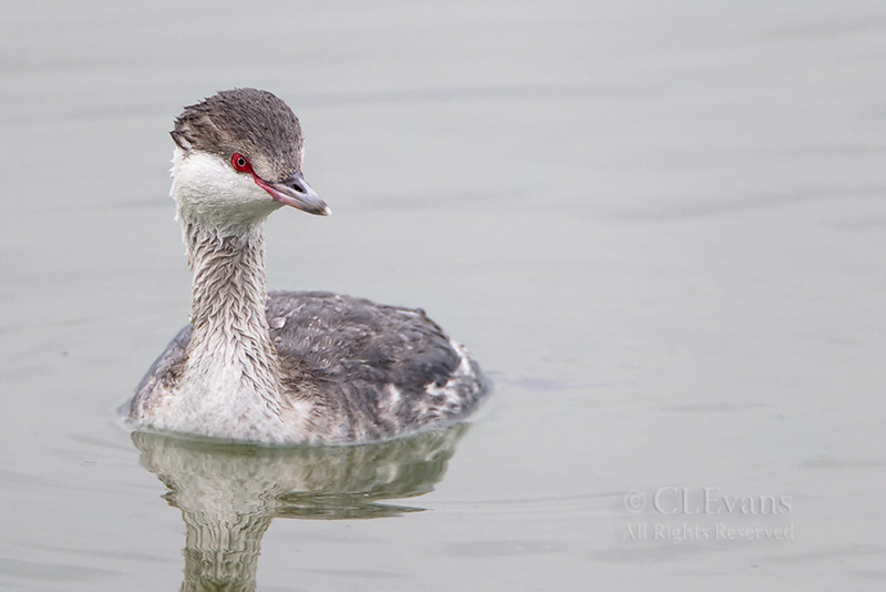 Horned Grebe (Tampa Bay)