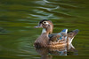 Female Wood Duck (Largo)