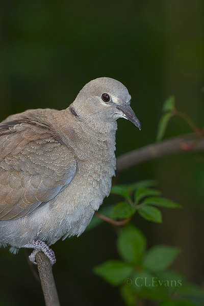 Eurasian Collared Dove (Largo)