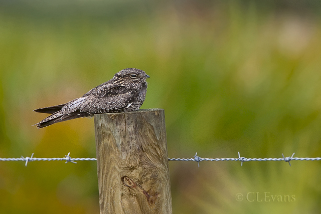Common Nighthawk with Palmetto background (Sarasota County)