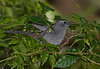 Gray Catbird in Rouge Plant (Rivina humilis) (Largo)