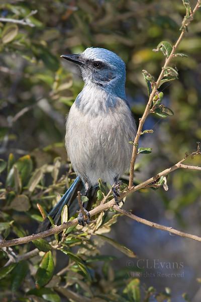 Florida Scrub Jay (Lake Kissimmee State Park)