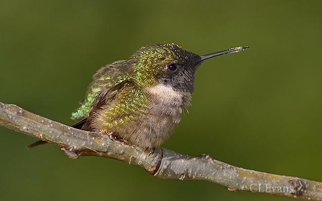 Ruby-throated Hummingbird male (Ft. De Soto Park, St. Petersburg)