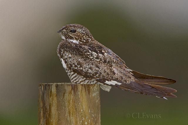 Common Nighthawk in the rain - male (Sarasota County)