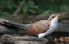 Yellow-billed Cuckoo (Largo)