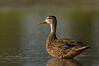 Mottled Duck (St. Petersburg)