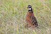 Northern Bobwhite (male) (Kissimmee Prairie Preserve)
