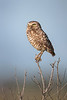 Burrowing Owl in the Florida prairie (Kissimmee Prairie Preserve)