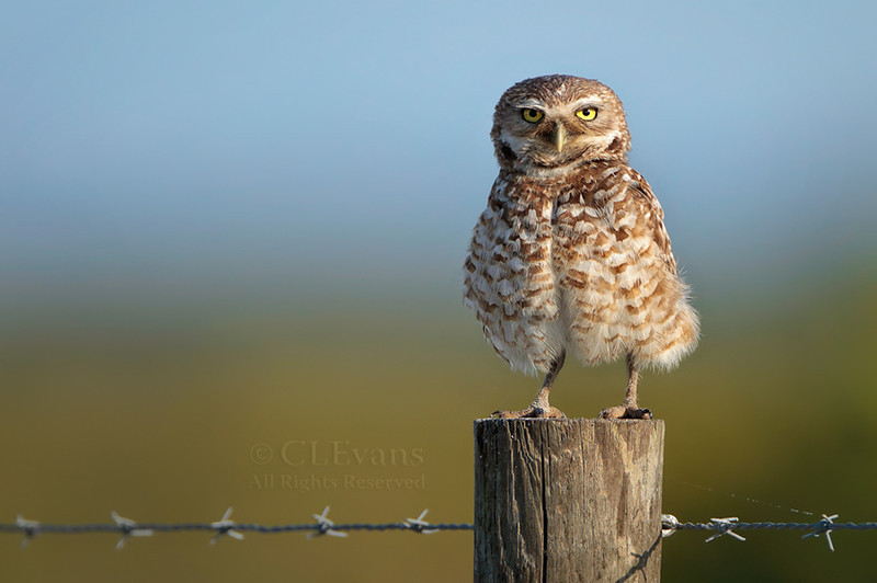 Burrowing Owl, fluffed up on fence post (Kissimmee Prairie Preserve)