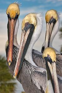 Pelicans, Anhingas, Cormorants & Frigatebirds