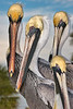 Brown Pelicans (Clearwater Beach)<br /> <br /> Wildlife Photograph of the Year, 2010, awarded by Florida Audubon Society