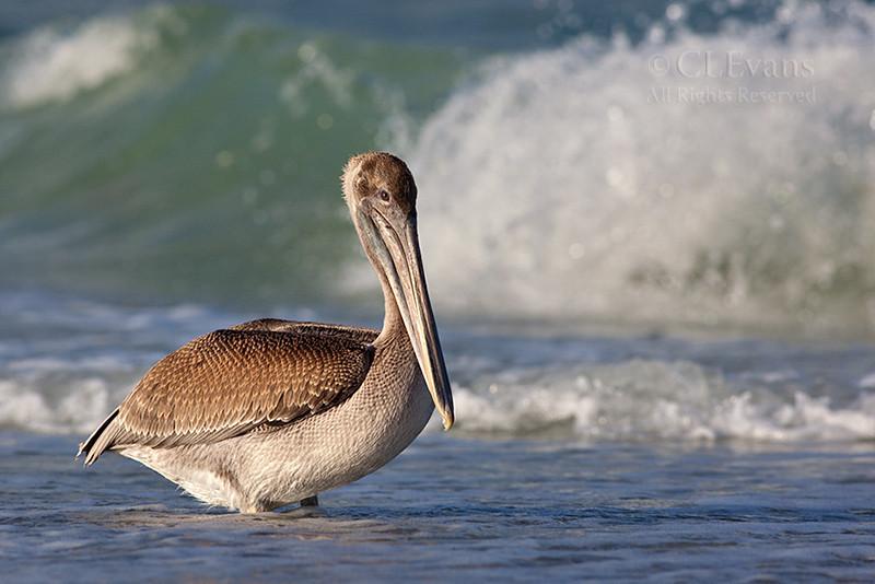 Brown Pelican Juvenile (Pinellas County)
