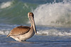 Brown Pelican Juvenile (Pinellas County)