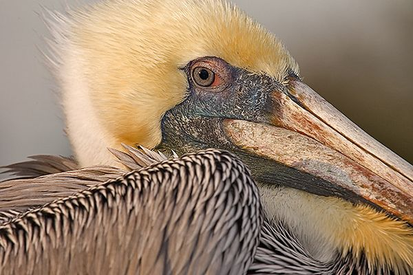 Brown Pelican (Clewater Beach)