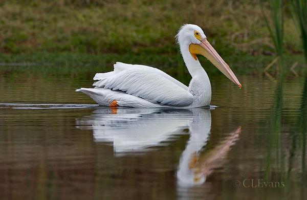White Pelican (Lake Maggiore, St. Petersburg)