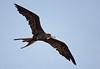 Magnificent Frigatebird (St. Joseph Sound)