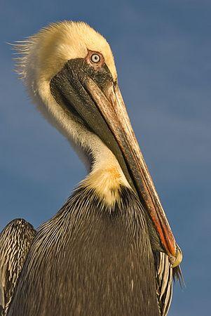 Brown Pelican (Clearwater)