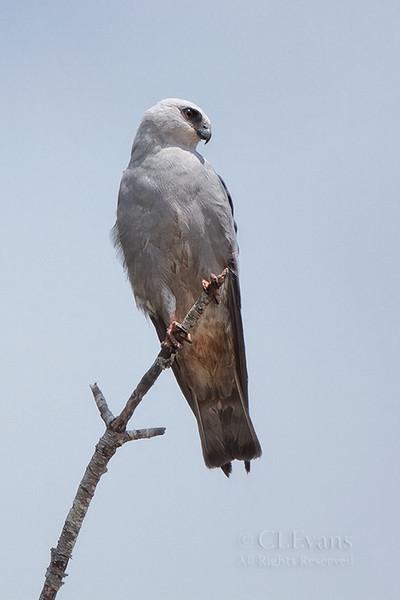 Mississippi Kite (Hernando County)